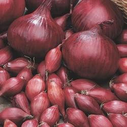 Bulbi di Cipolla Rossa Caliibro 14/21 mm da 500 gr