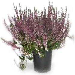 CALLUNA ROSSA in Vaso da 12 cm