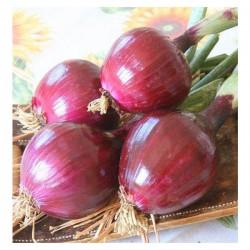 Cipolla Rossa di Tropea Tonda in Vaschetta da 12 Piante