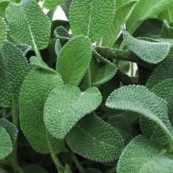 Salvia Foglia Larga in Vaso