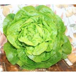 Lattuga Cappuccio Verde in Vaschetta da 9 Piante