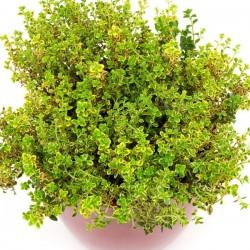 Timo Limone in Vaso da 14 cm