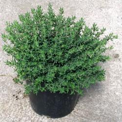 Timo Verde in Vaso da 14 cm