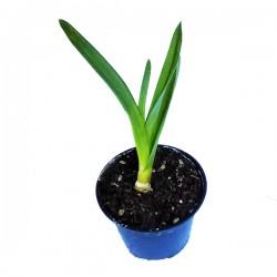 Aglio Bianco AVORIO Vaso da 10 cm
