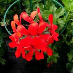 Geranio Ricadente Rosso in Vaso da 14 cm