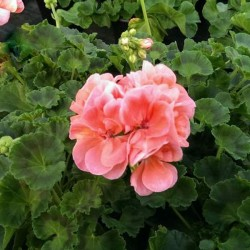 Geranio Zonale Rosa Confetto in Vaso da 14 cm