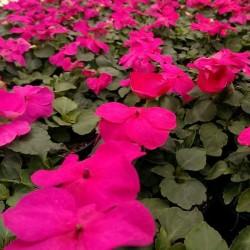 Fiore di Vetro FUCSIA in Vaso da 9 cm