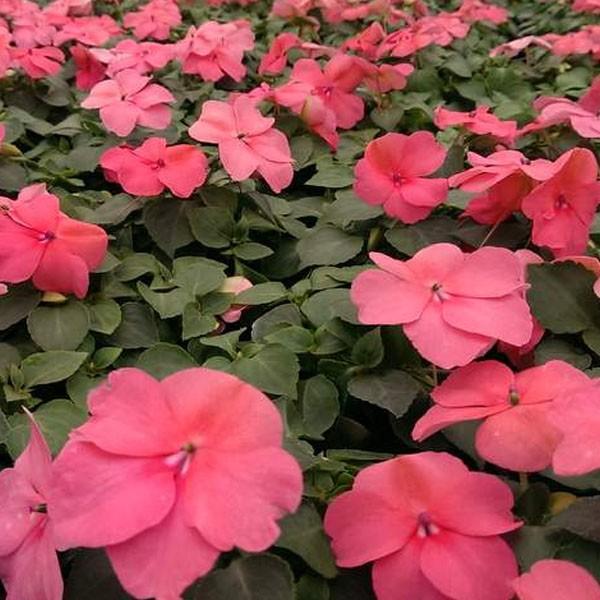 Fiori Di Vetro Nuova Guinea.Fiore Di Vetro Rosa Corallo In Vaso Da 9 Cm Epoca Italpigeon Pet Shop