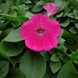 Petunia FUCSIA in Vaso da 10 cm