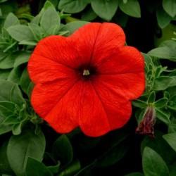 Petunia ROSSO in Vaso da 10 cm