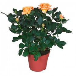 Rosa ARANCIONE in vaso 10 cm