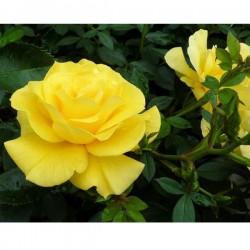 Rosa GIALLA in vaso 10 cm