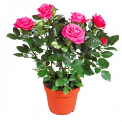 Rosa ROSA in vaso 10 cm