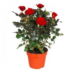 Rosa ROSSA in vaso 10 cm