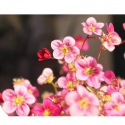 Saxifraga o Neon Rose in Vaso da 10 cm