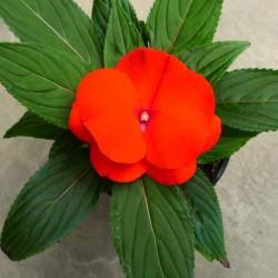 Nuova Guinea ARANCIO in Vaso da 12 cm