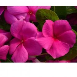 Vinca colore VIOLA/FUCSIA in Vaso da 10 cm