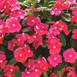 Vinca colore ROSSO in Vaso da 10 cm
