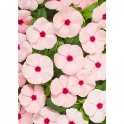Vinca colore APRICOT in Vaso da 10 cm