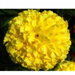 Tagete GIALLO in Vaso da 10 cm